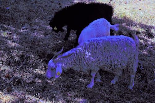 動物, 哺乳動物, 山羊 的 免费素材图片