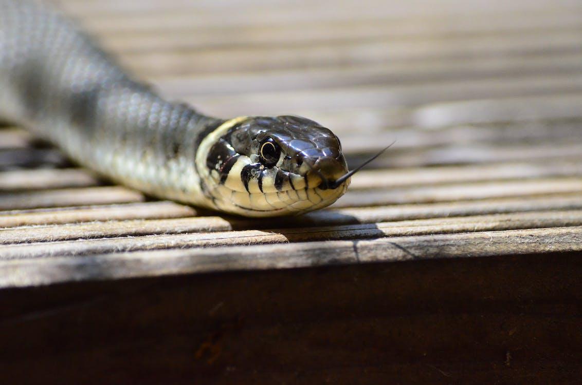 cận cảnh, con rắn, con vật