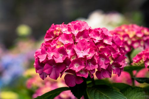 Gratis lagerfoto af blomster, close-up, flora, hortensia