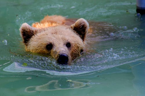 Grizzly Bear Swimming in Water