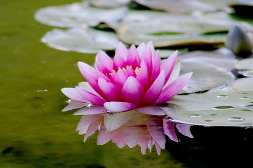 Pink Water Lily Flower on Water