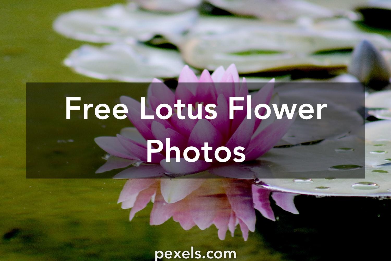 1000 Beautiful Lotus Flower Photos Pexels Free Stock Photos