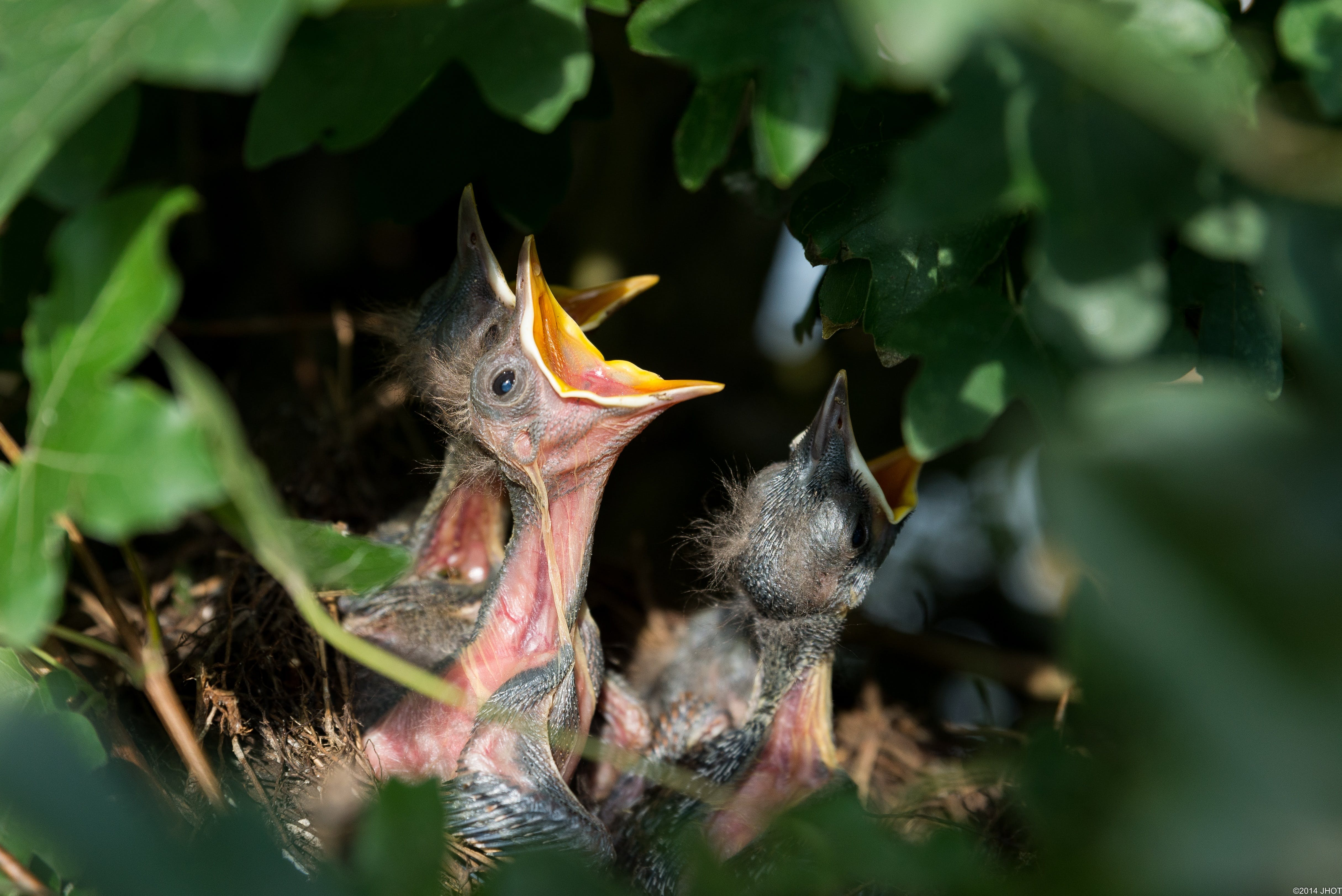 Bird Chicks Opening Mouth