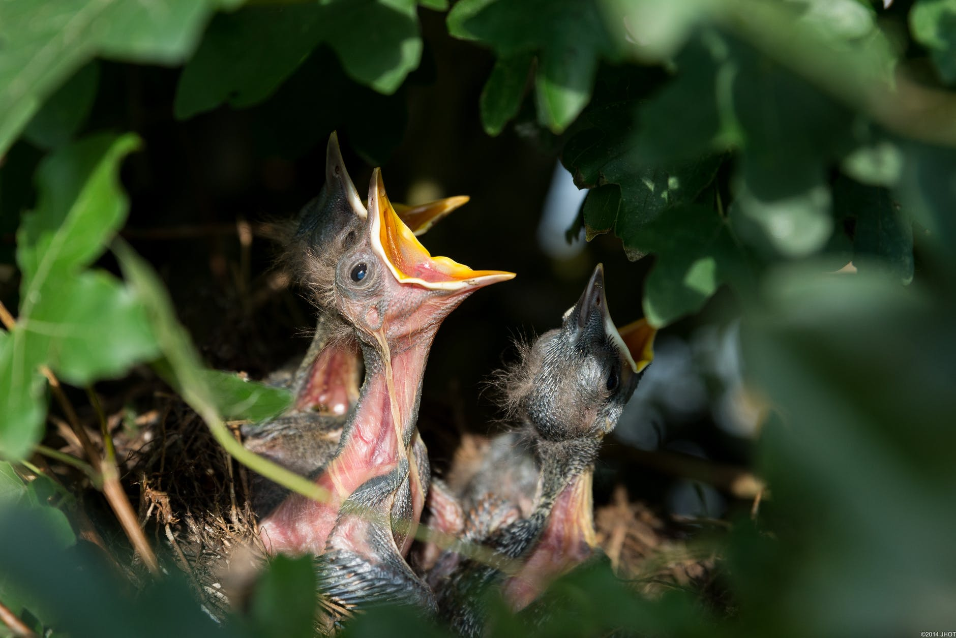 three baby birds in a nest with open mouths