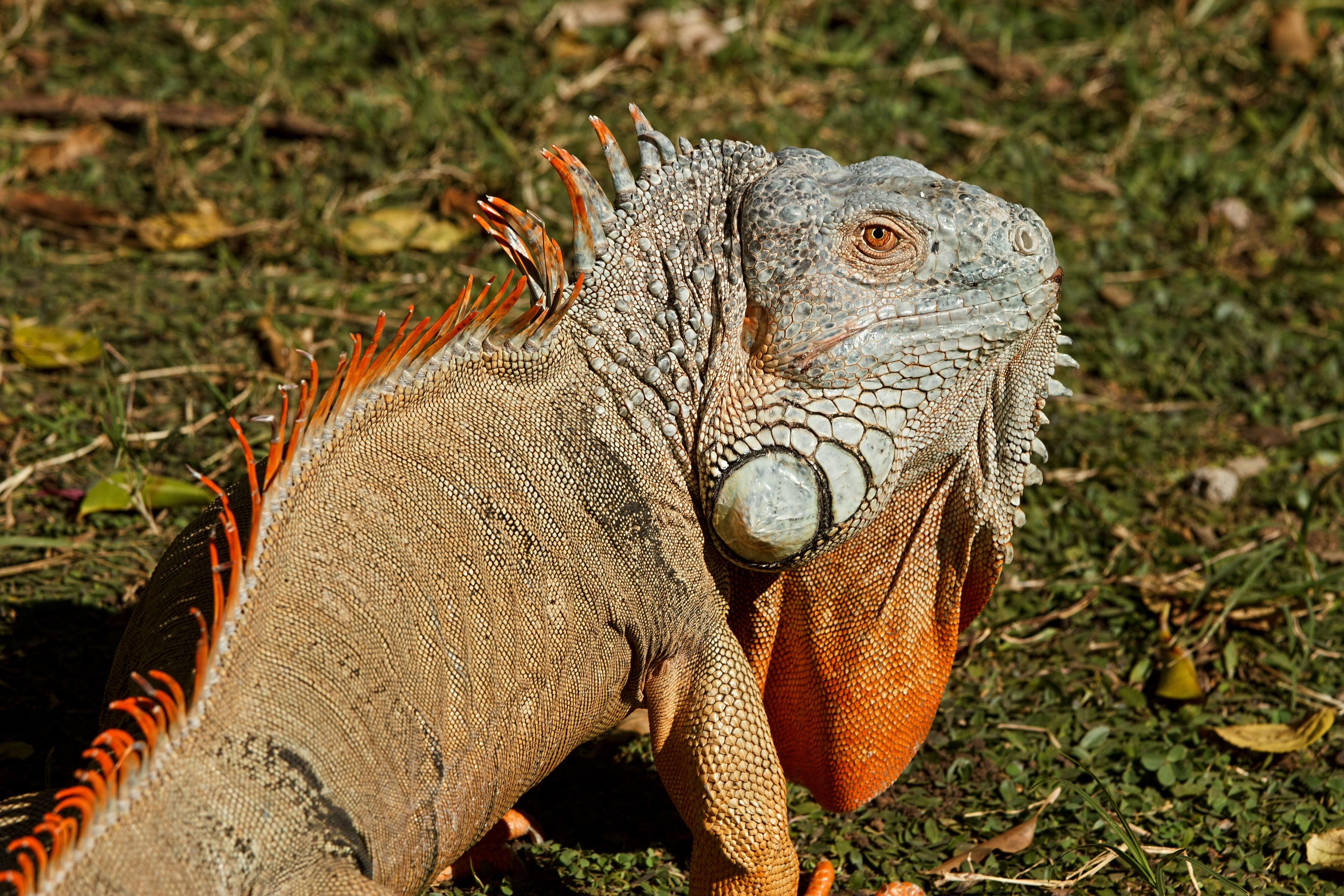 Orange Gray and Black Chameleon Standing on Green and Brown Grass during Daytime