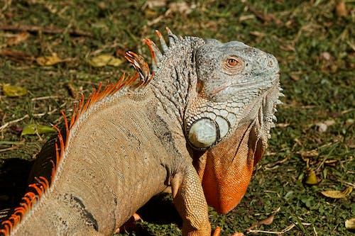 doğa, hayvan, iguana, kertenkele içeren Ücretsiz stok fotoğraf