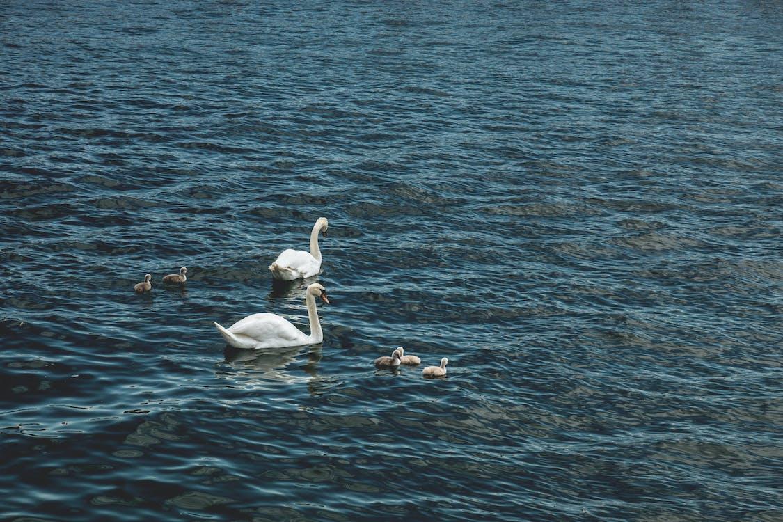 agua, animales, cisnes