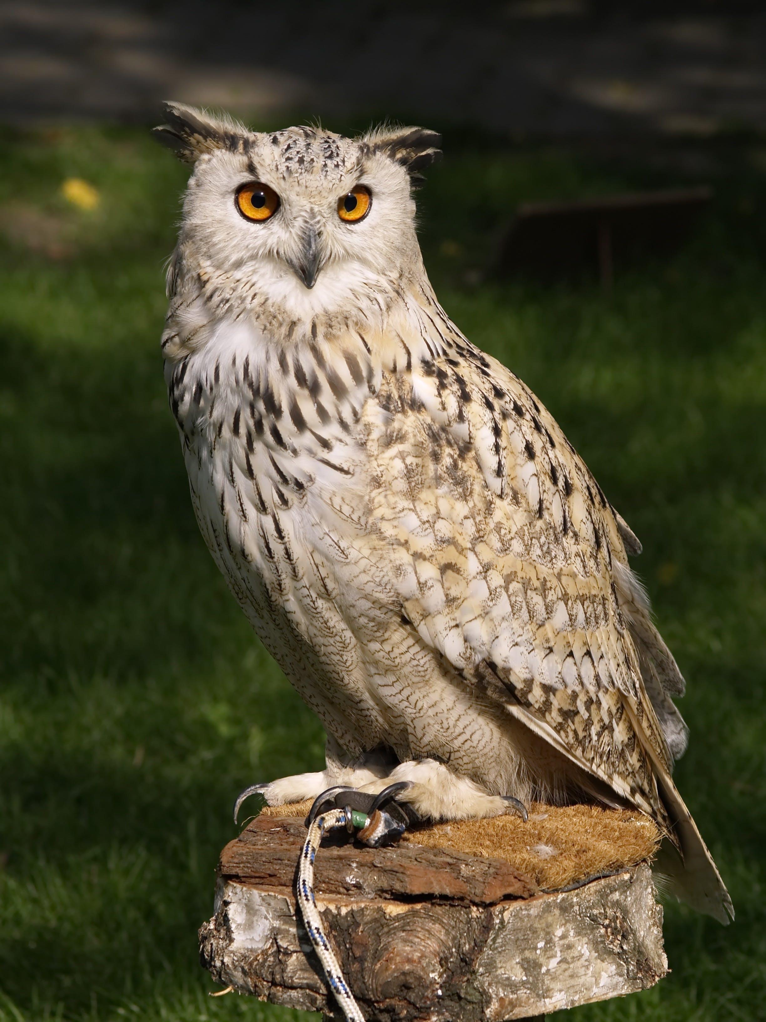 Brown Beige and Black Owl