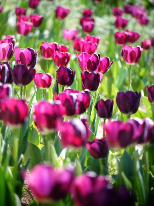 คลังภาพถ่ายฟรี ของ กำลังบาน, ความชัดลึก, ดอกทิวลิป, ดอกไม้