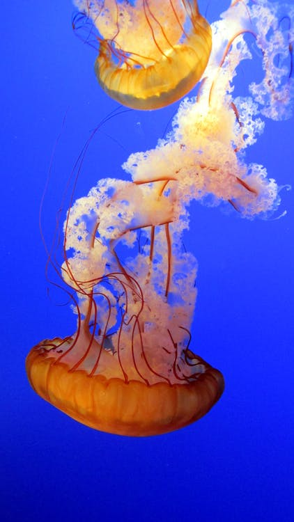 Two Brown Jellyfishes