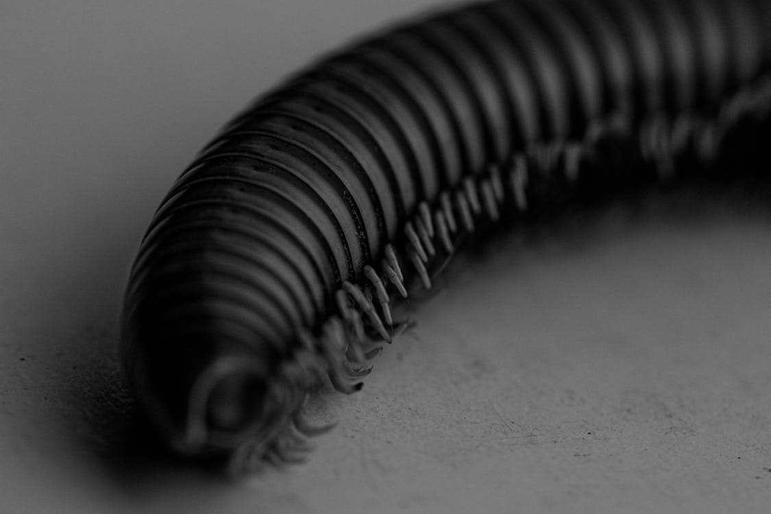 Black and white of caterpillar with huge number of legs on white surface
