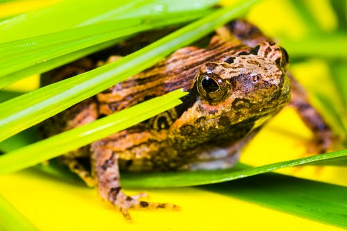 Brown and Black Frog Lying on a Green Leaf