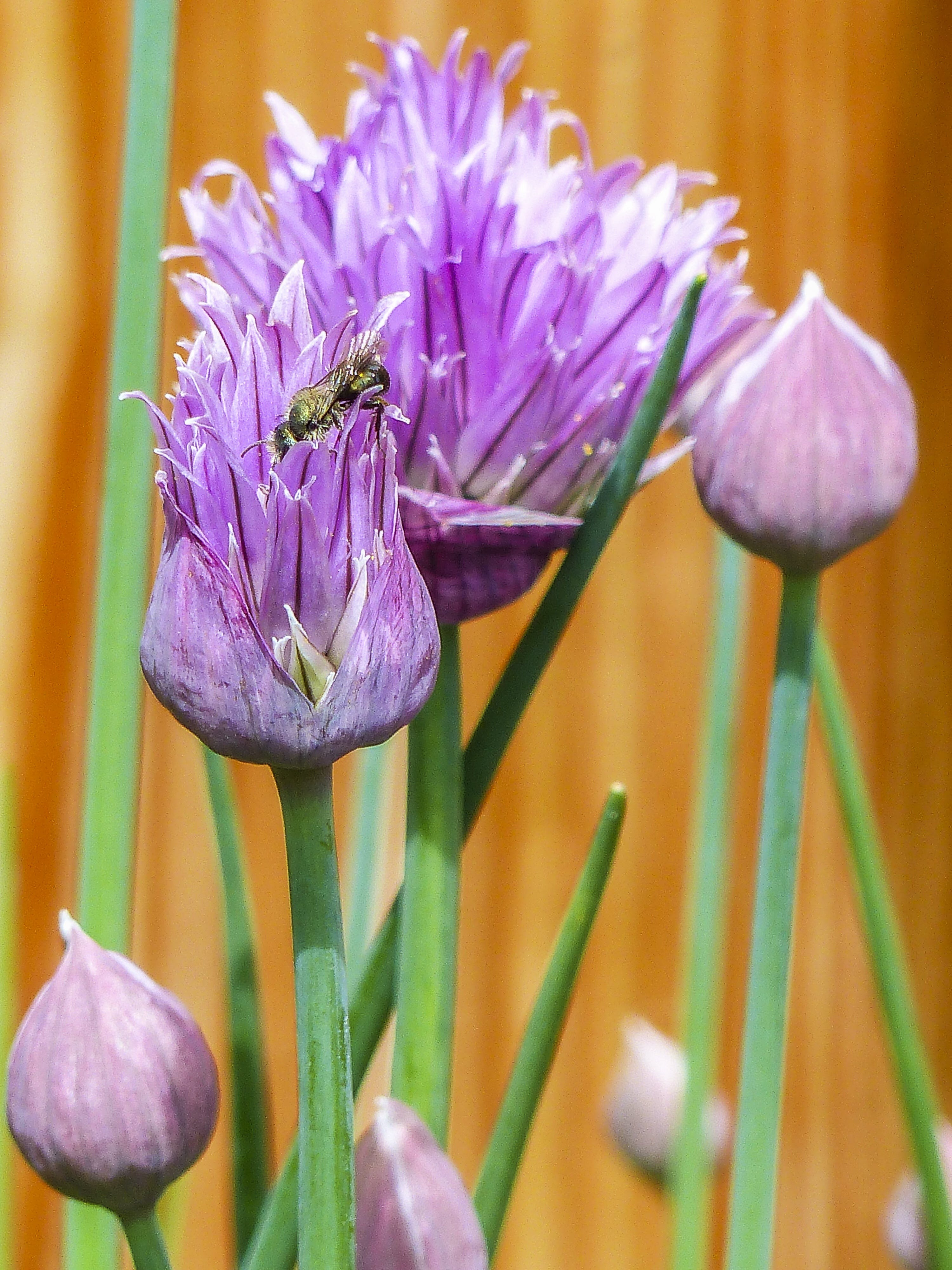 Insect in Purple Petaled Flower