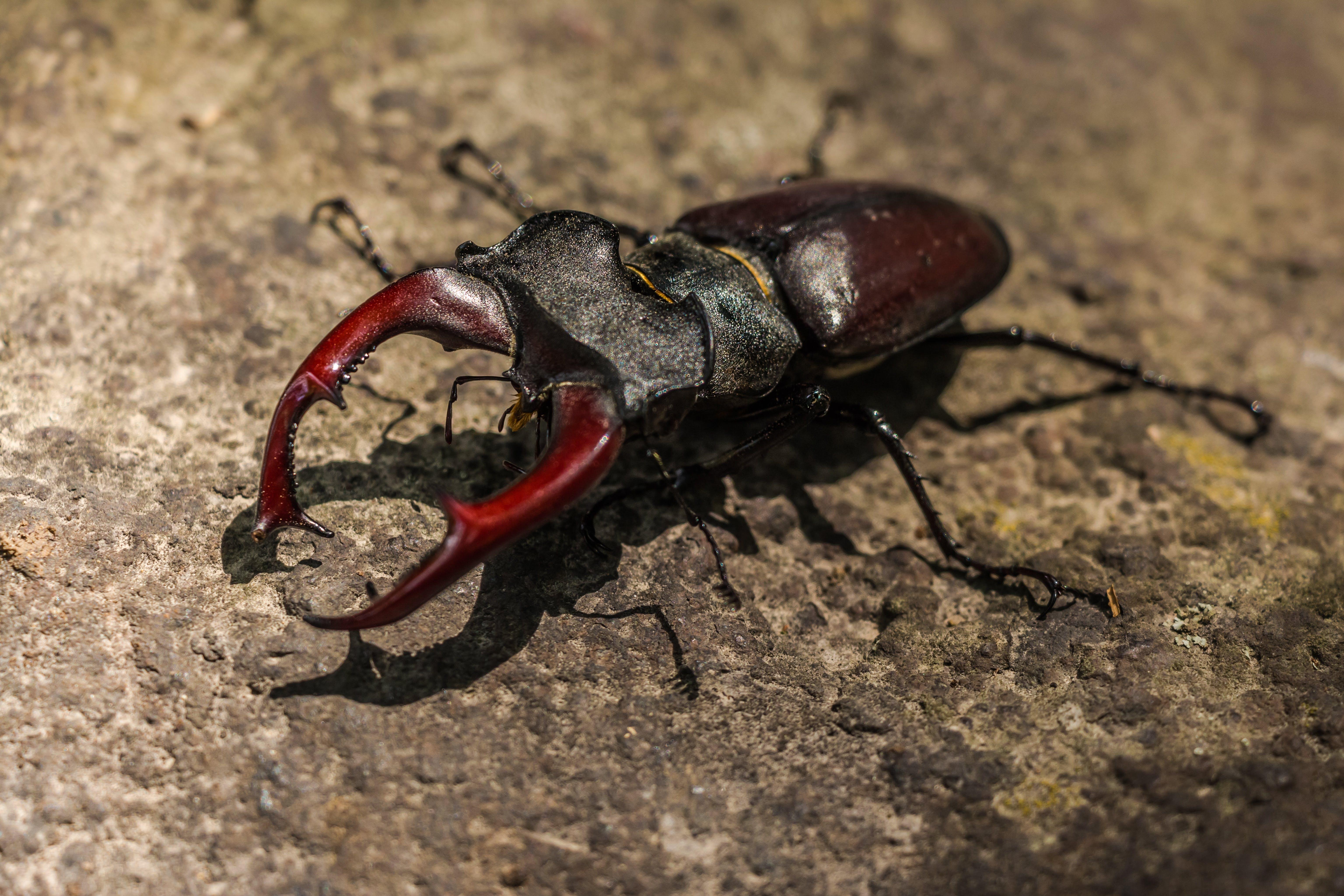 Brown Beetle