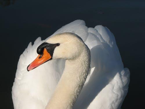 그림자, 깃털, 동물, 하얀 백조의 무료 스톡 사진