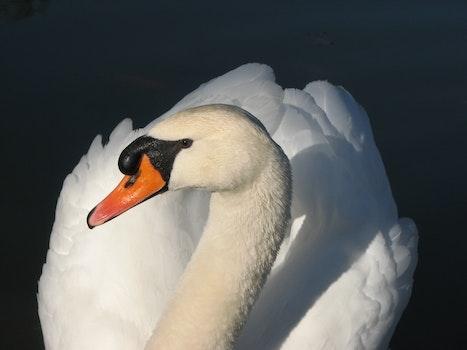 Free stock photo of bird, animal, white, beak