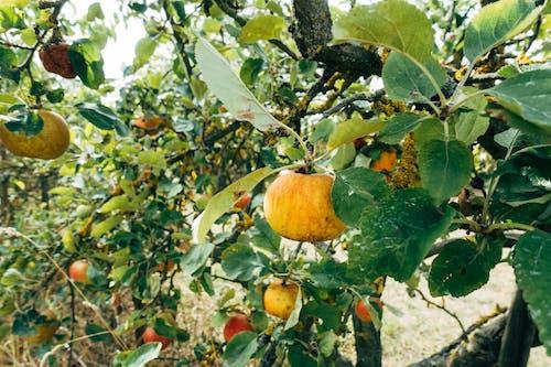 Close-Up Photo of a Ripe Bitter Orange on Tree