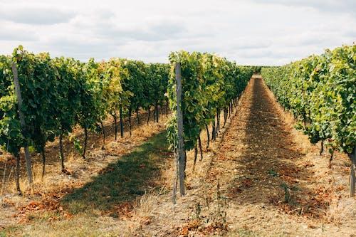 A Plantation of Grapevines