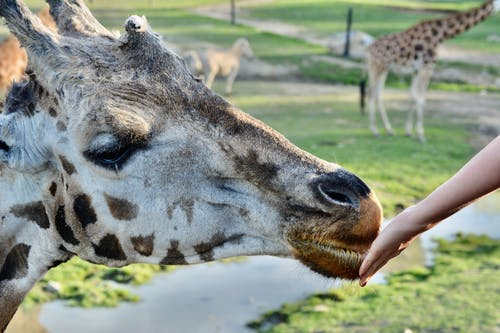 Person Holding a Giraffe's Mouth