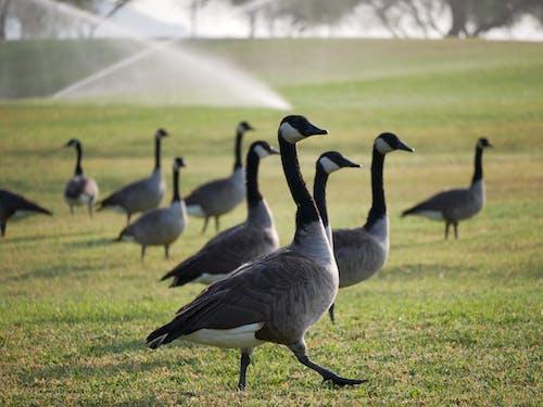 Flock of Geese on Green Grass Field
