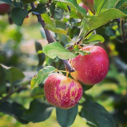 Free stock photo of apple, apple fruit, orchard