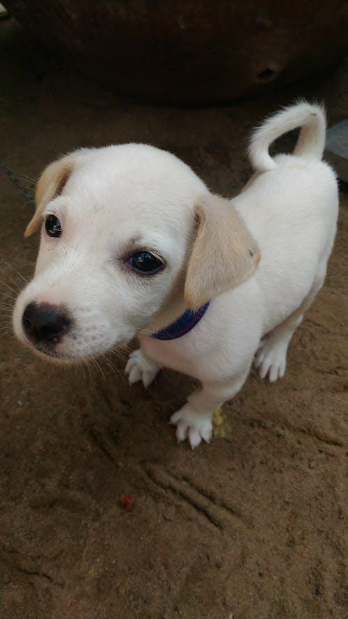 Free stock photo of white dog