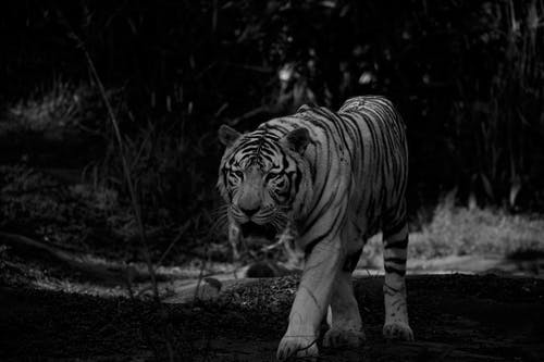 Powerful wild tiger walking in forest