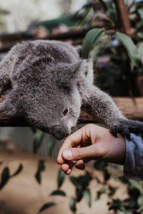 Photos gratuites de animal, arbre, australien, bois