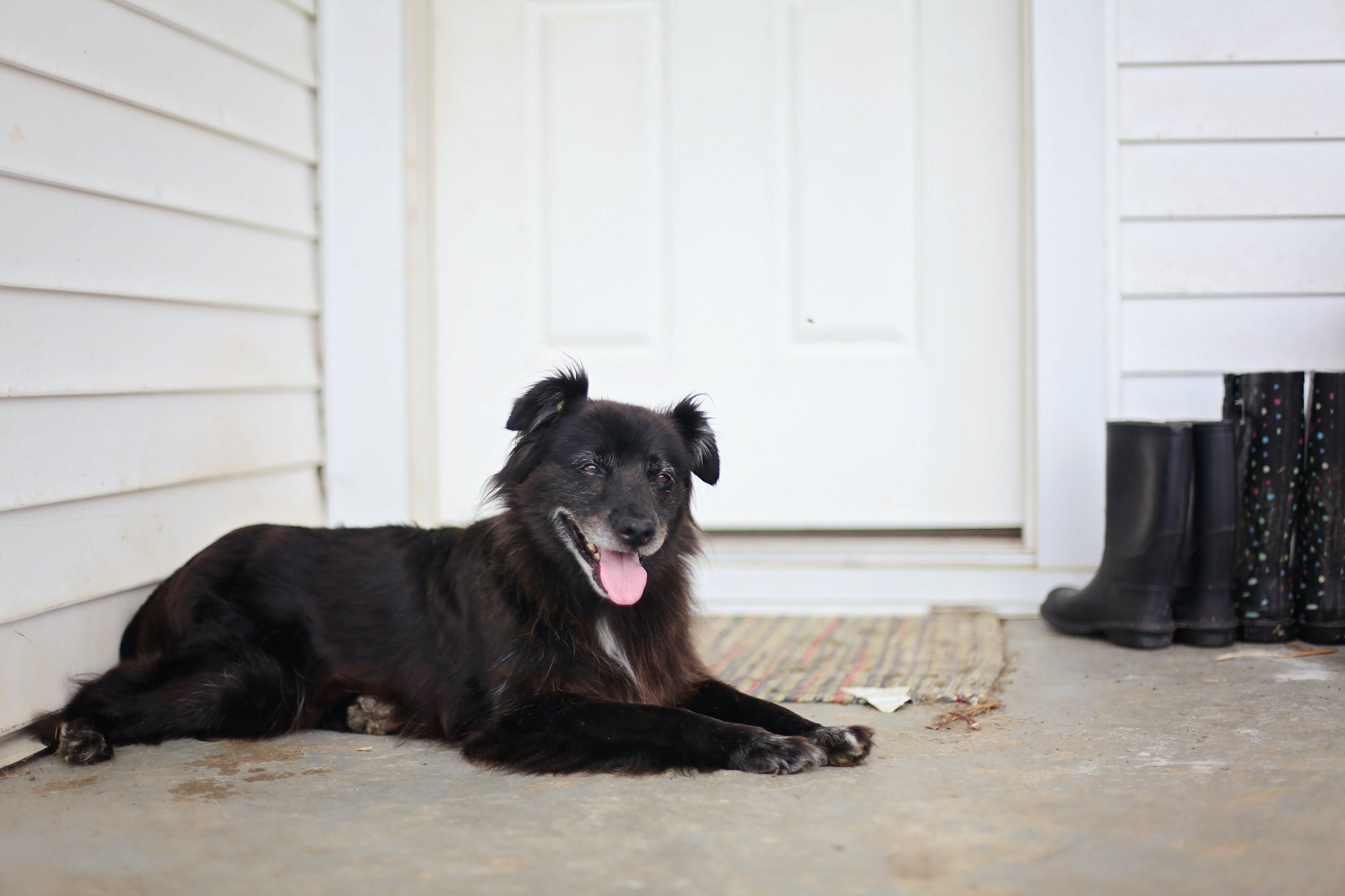 Medium-coated Black Dog Lying on Floor Near Door