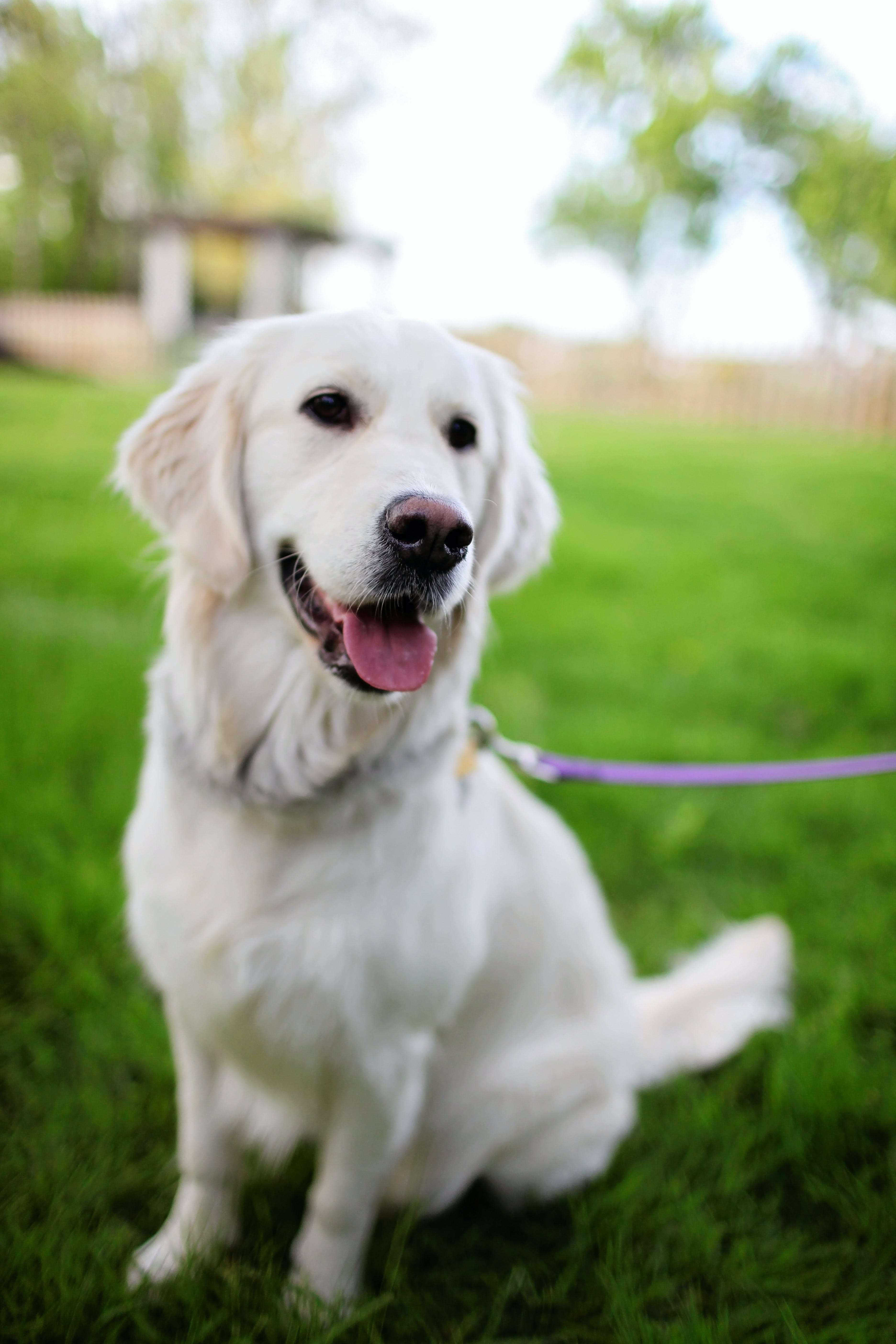 Adult Cream Retriever Sitting on Grass