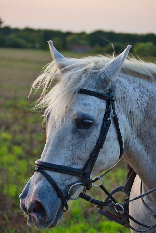 Graceful gray horse standing on grassy pasture at sundown