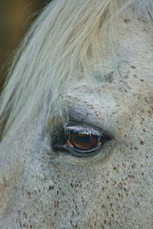 Brown eye of purebred horse with white mane
