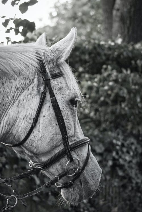 Black and white of muzzle of adorable purebred horse with bridle standing near lush trees on sunny day