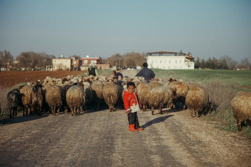 Ethnic boy on road with herd of sheep