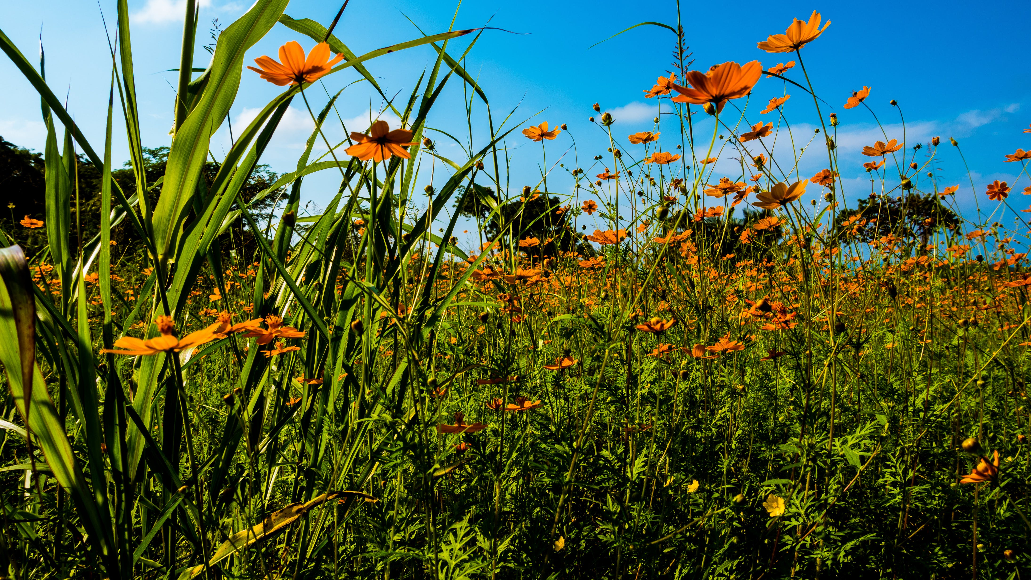 Orange Flower Field Under Clear Blue Sky