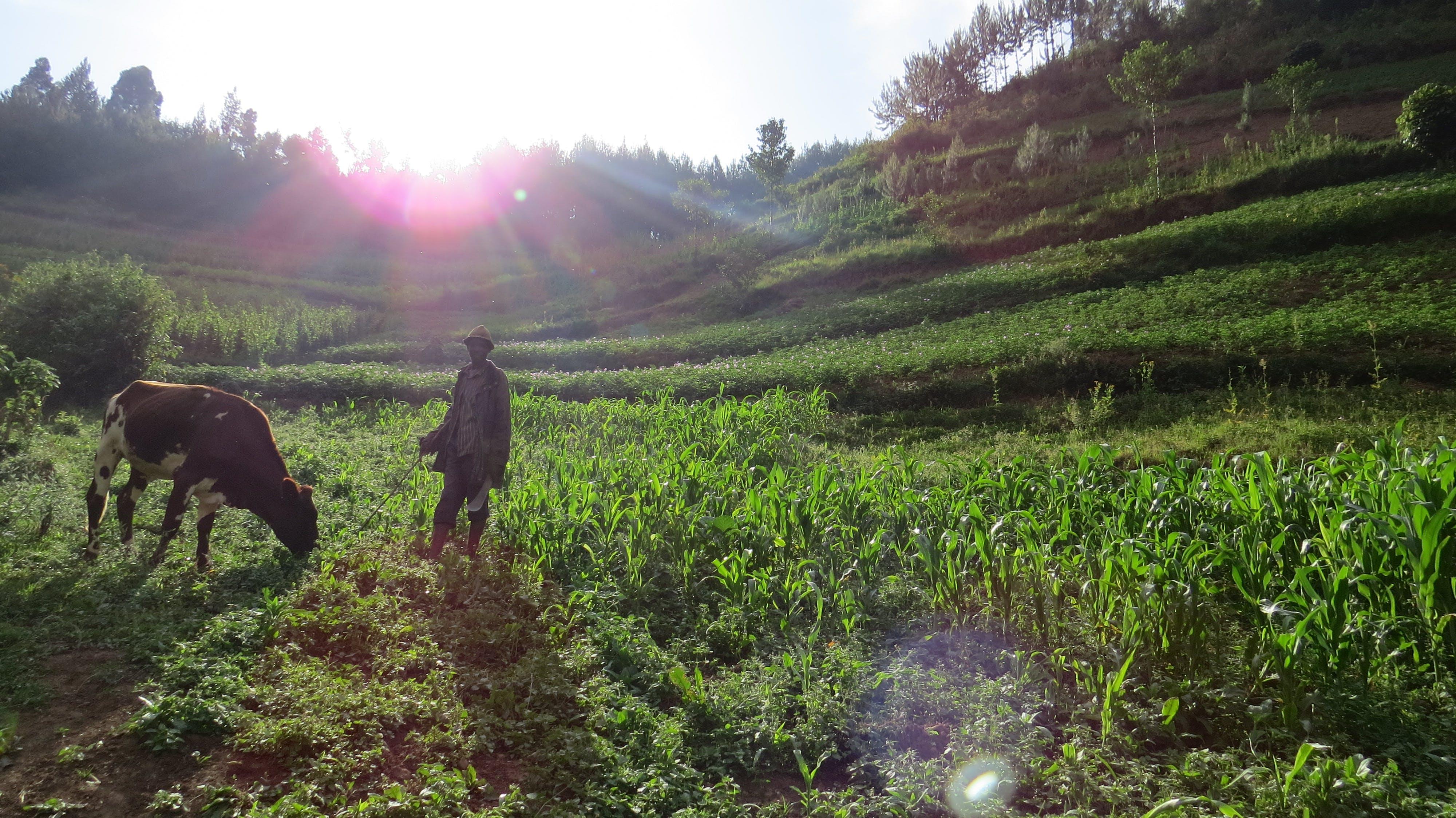 Δωρεάν στοκ φωτογραφιών με bwindi αδιαπέραστο, rushaga, αγρότης, Αφρική