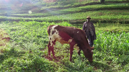 Fotobanka sbezplatnými fotkami na tému Afrika, bwindi nepreniknuteľné, dobytok, farmár