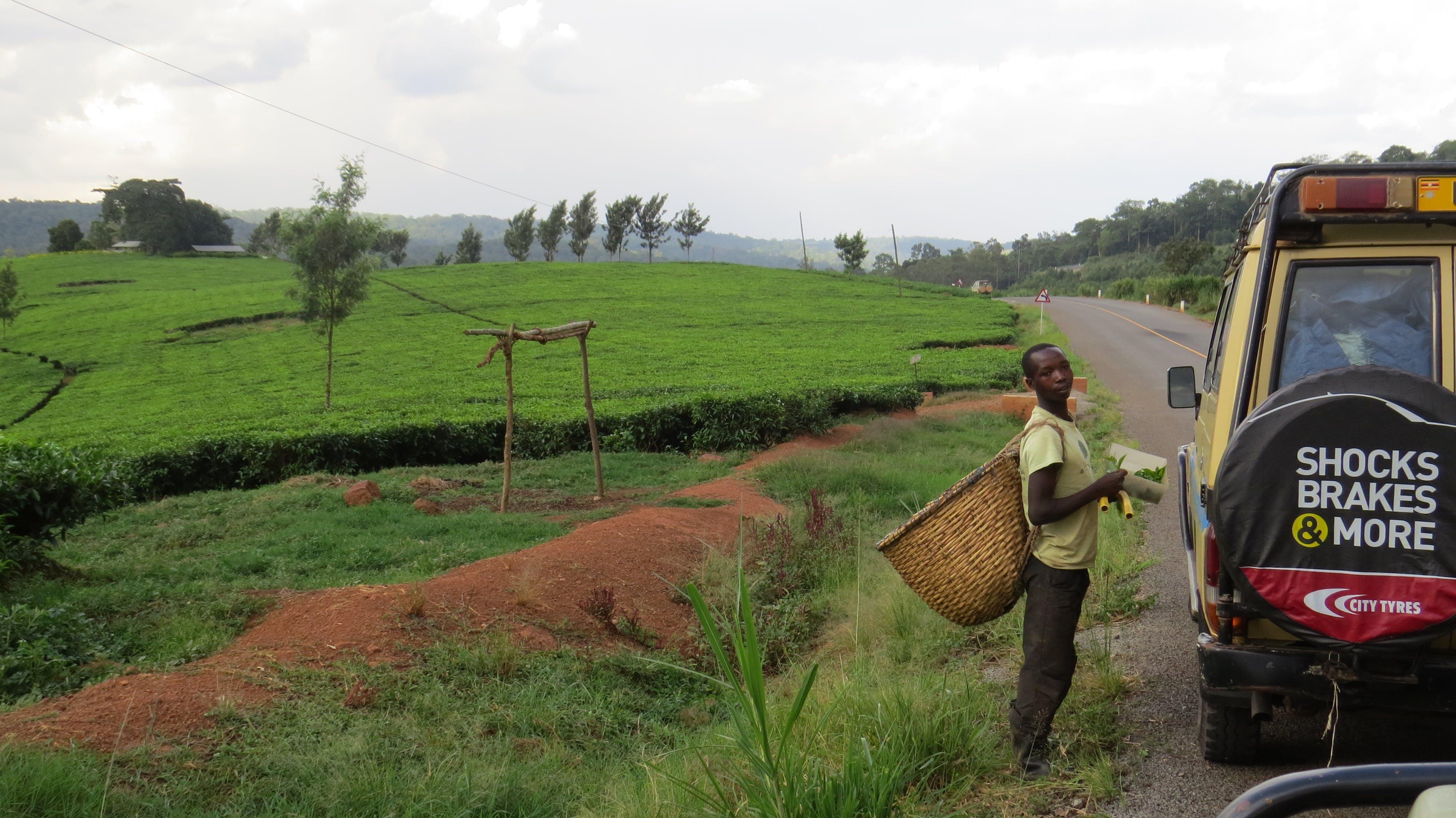 Free stock photo of africa, road trip, tea plantation, uganda