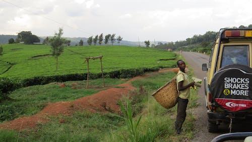 乌干达, 公路旅行, 茶园, 非洲 的 免费素材照片