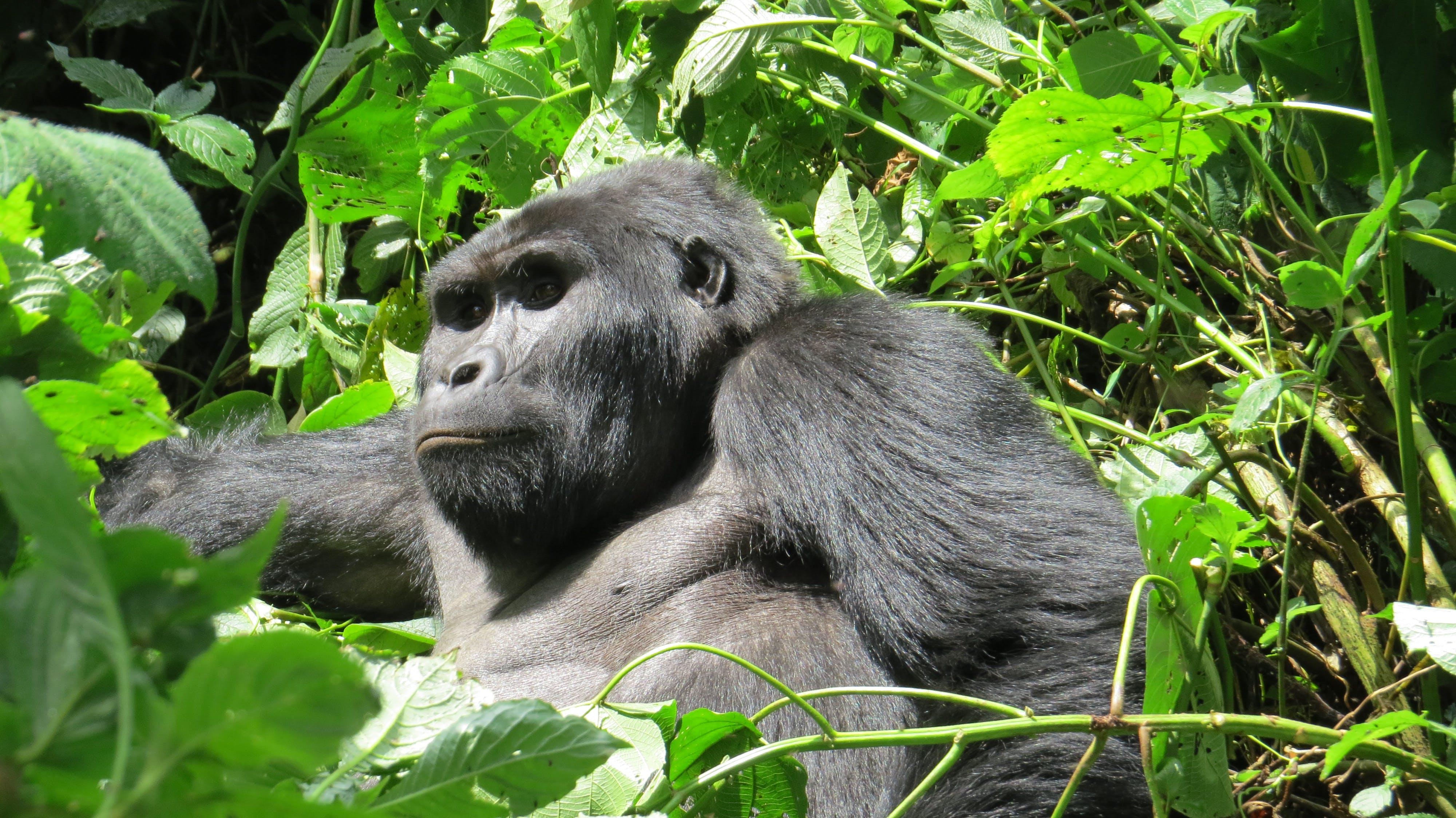 Free stock photo of africa, bwindi impenetrable, gorilla, mountain gorilla