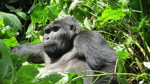 Fotobanka sbezplatnými fotkami na tému Afrika, bwindi nepreniknuteľné, gorila, horská gorila