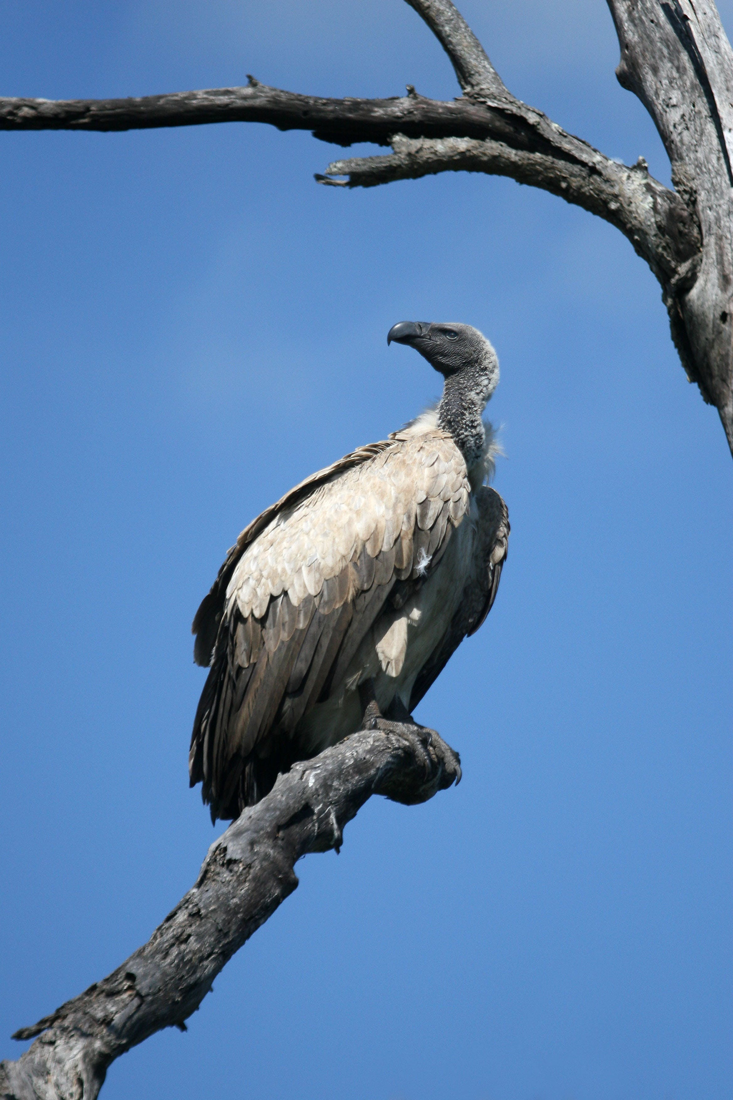 Black and Gray Vulture on Gray Wither Tree during Daytime