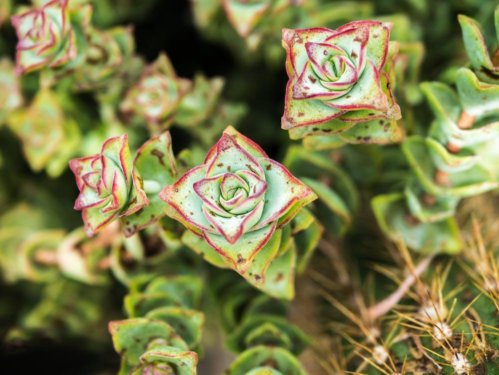 botanický, červená, kaktus