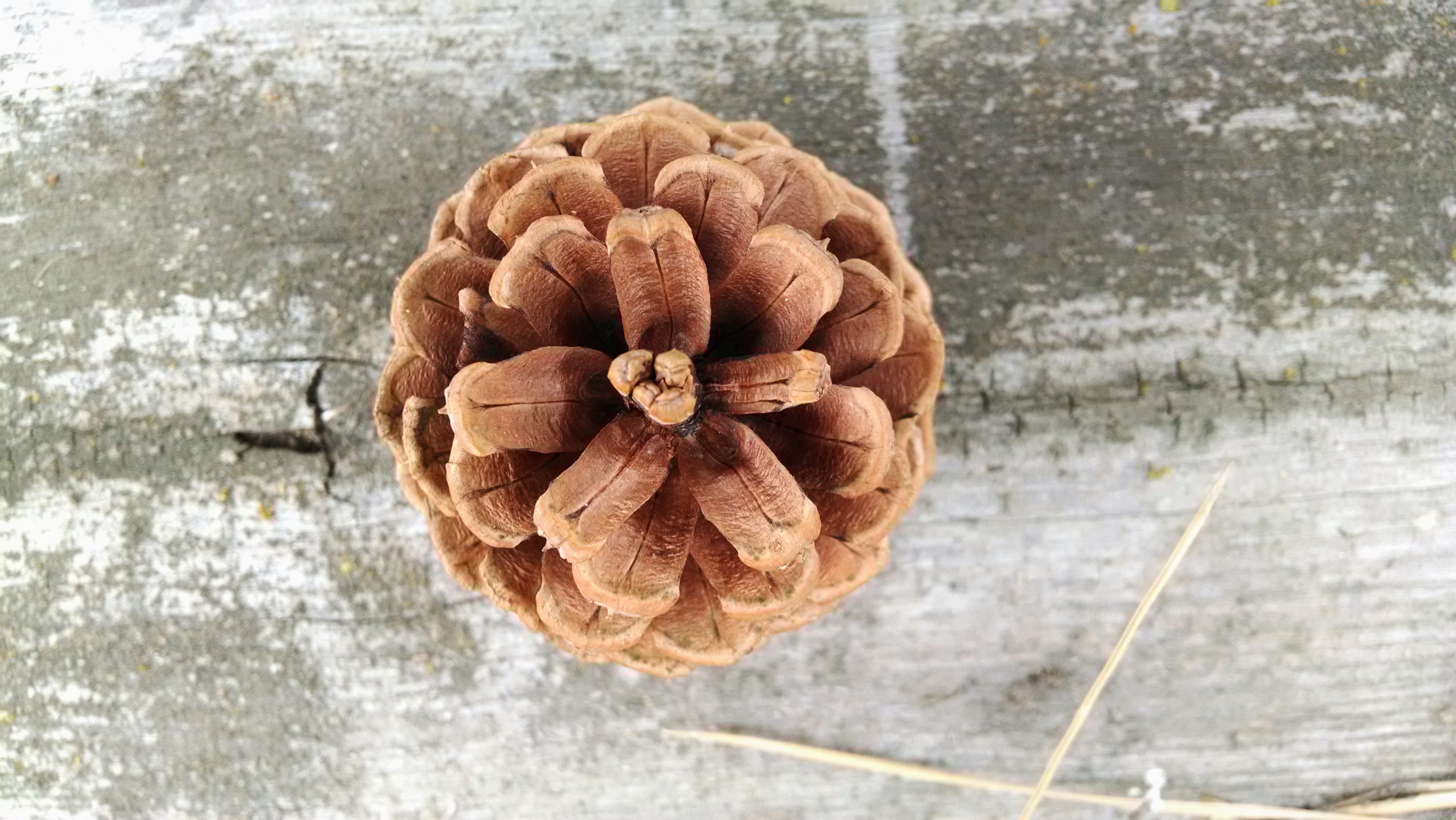 Brown Pine Cone in Close-up Photo