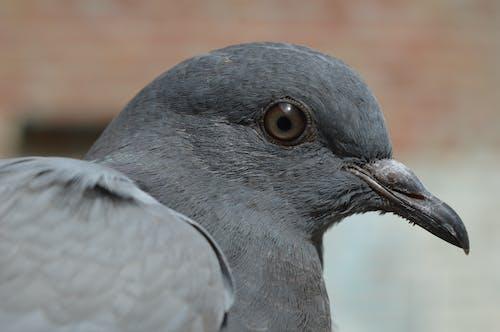 Základová fotografie zdarma na téma holub, makro, zblízka, zvíře
