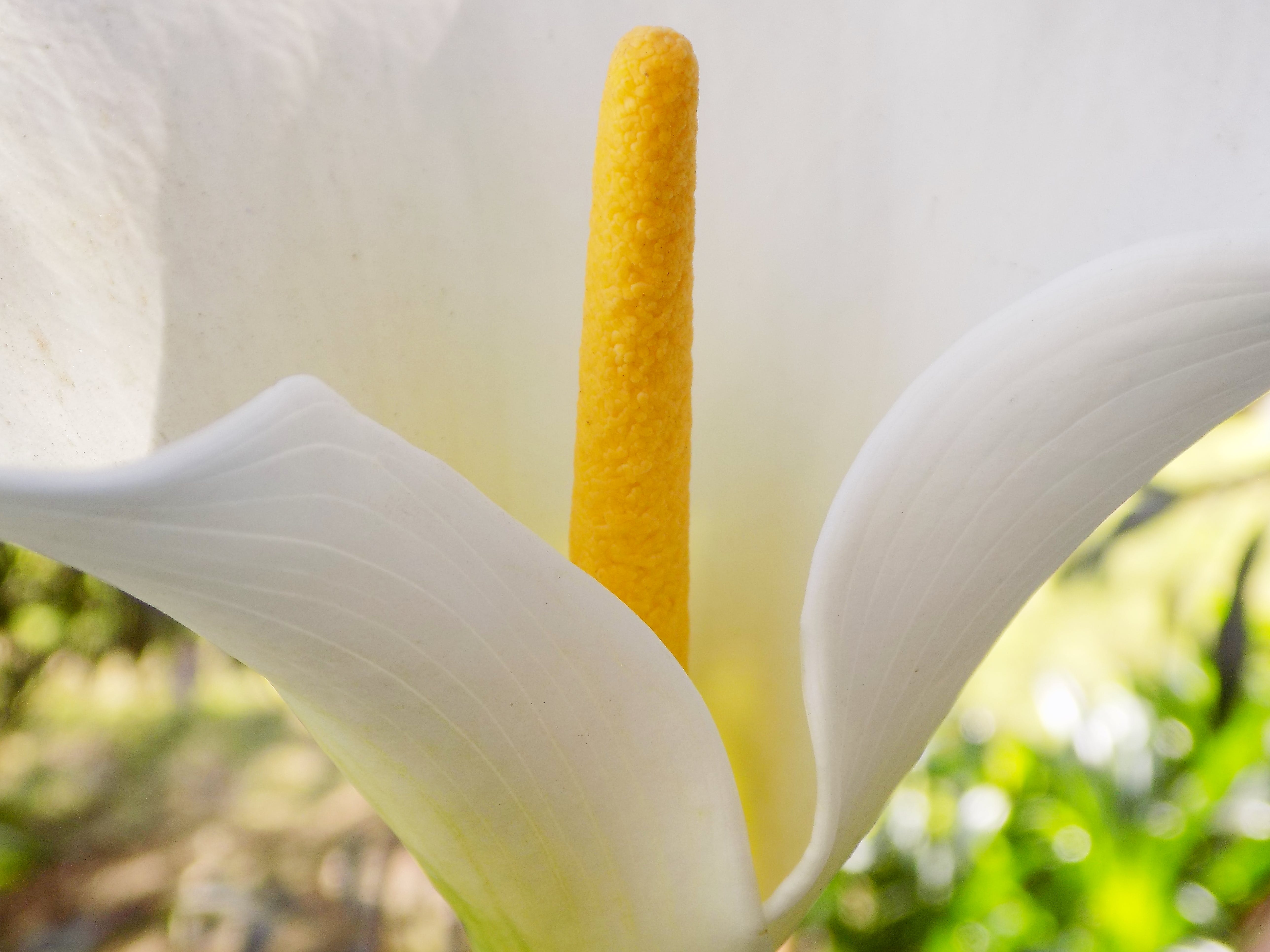 Free stock photo of beautiful flowers, flower, Lilly