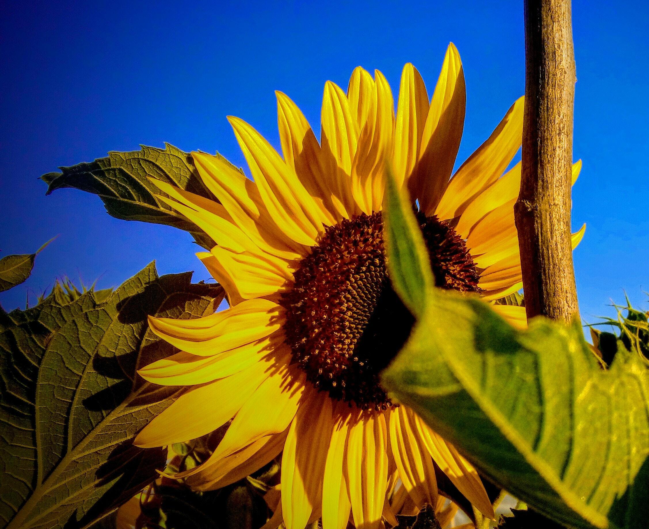 Fondo De Pantalla Gratis De Flores: Fondo De Pantalla De Girasoles