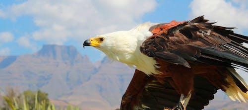 Základová fotografie zdarma na téma draví ptáci, orel, rybí orel