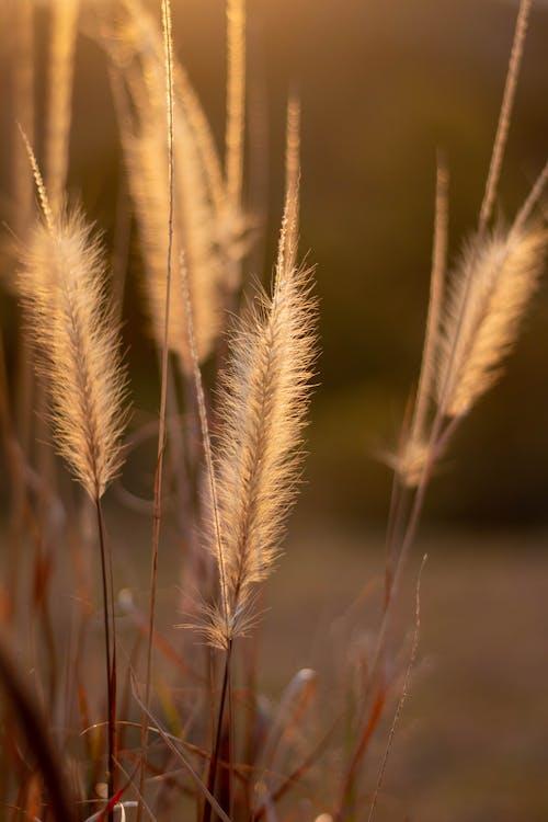 Immagine gratuita di alba, campo, canna, cannuccia