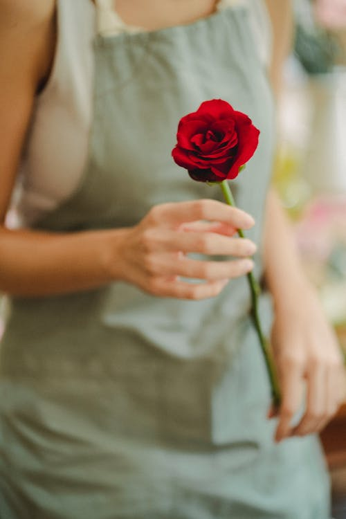Crop anonymous woman florist in apron showing aromatic red rose in hand in daytime